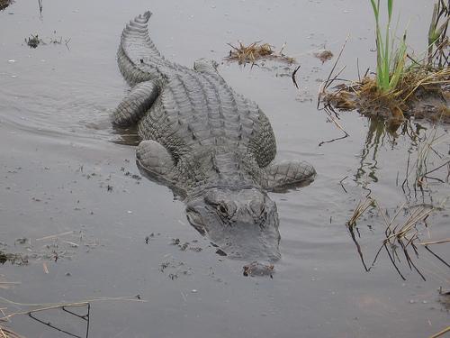 new orleans alligator
